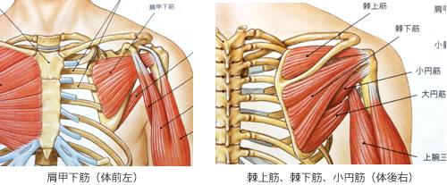 「肩 筋肉」の画像検索結果